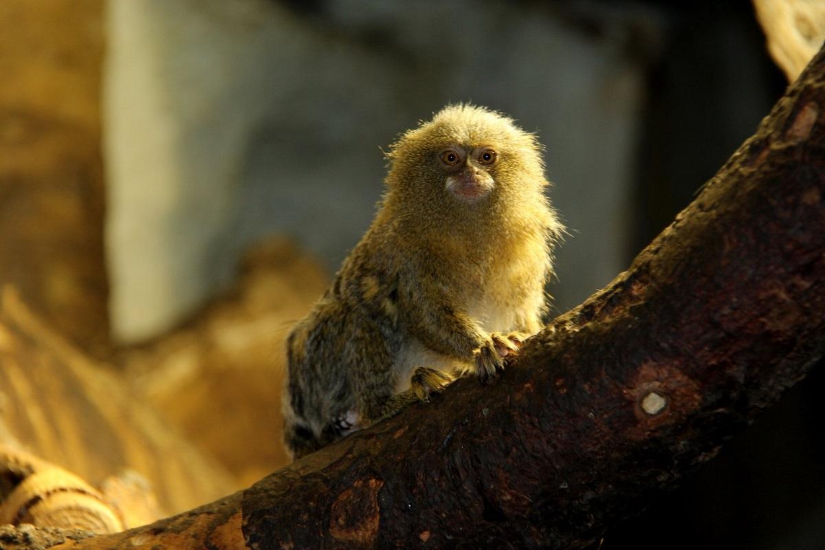 El primate mas pequeño del mundo encontrado en Ecuador