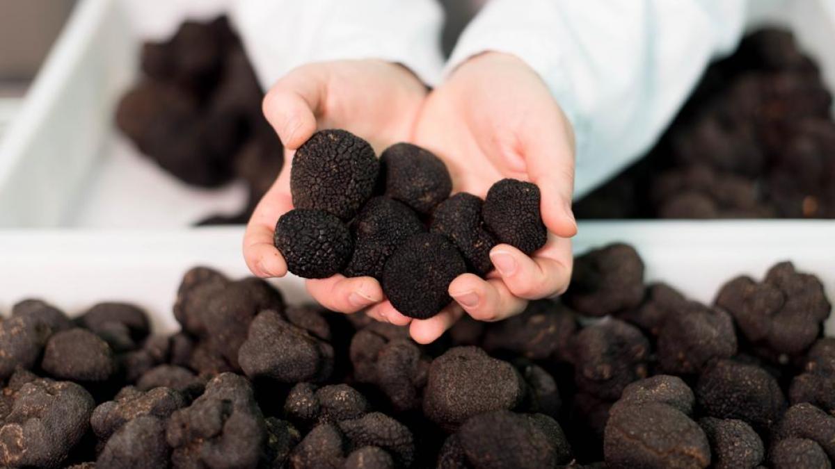Trufa negra chilena: Una de las delicias más finas que exporta el país